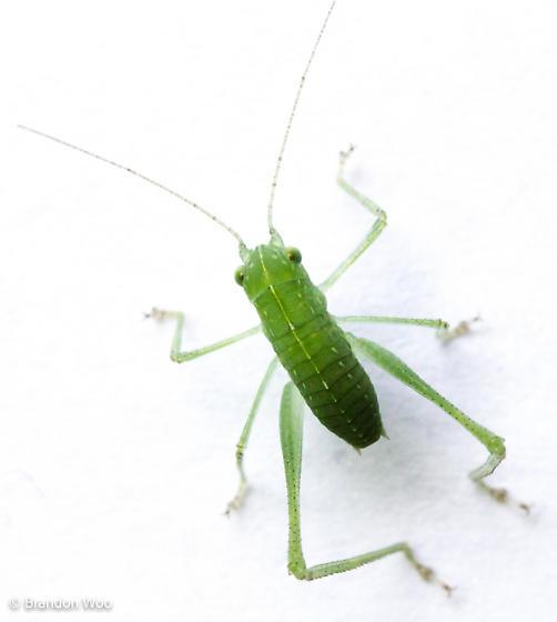 phaneropterine nymph
