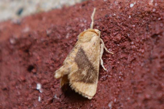 Yellow-collared Slug Moth - Apoda y-inversum