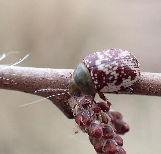 Blepharida rhois (Sumac Flea Beetle) - Blepharida rhois