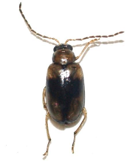 Chrysomelidae? - Metrioidea varicornis
