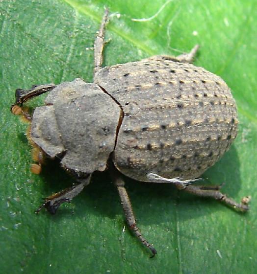 Beetle - Omorgus