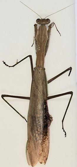 Chinese Mantid - Tenodera sinensis