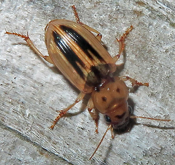 Stenolophus lineola? - Stenolophus lineola