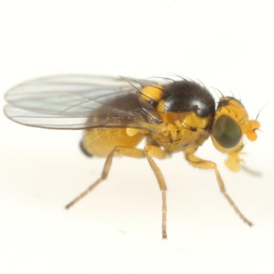 Liriomyza taraxaci - male