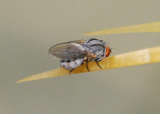 Fly on cactus, associated with Cochineal - Leucopis bellula