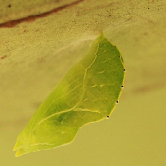 Green Chrysalis/Pupa - Lateral? - Asterocampa celtis