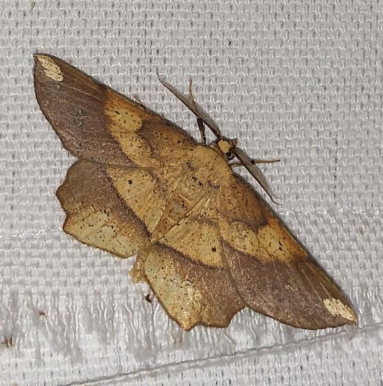 Euchlaena amoenaria - male