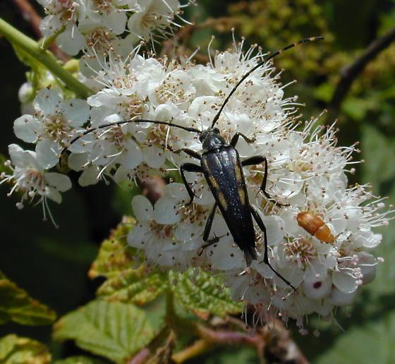cerambycid - Etorofus subhamatus - male