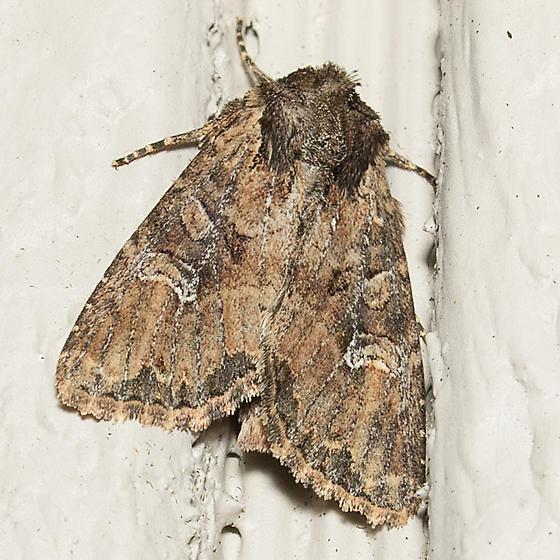 moth - Apamea unanimis