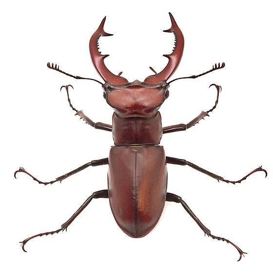 Lucanus elaphus - male