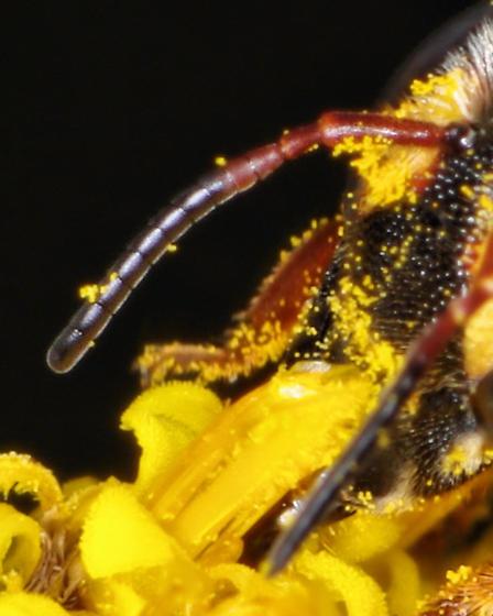 Anthidiellum notatum rufimaculatum? - Anthidiellum perplexum
