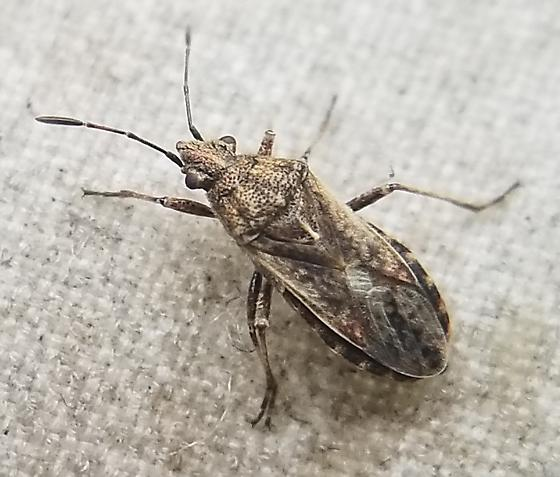 True Bug - Neortholomus