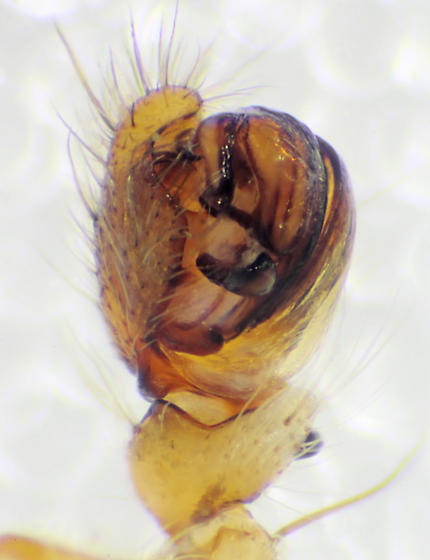 Pedipalp, ventral view (BG:523325) - Acanthepeira stellata - male