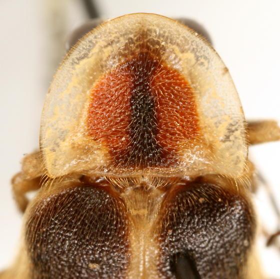 Photuris frontalis COMPLEX - Photuris frontalis - female