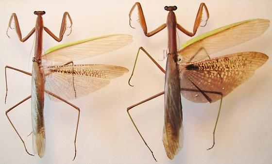 Tenodera angustipennis - Tenodera aridifolia sinensis comparison male - Tenodera - male