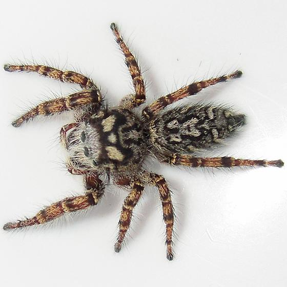 Phidippus mystaceus - female