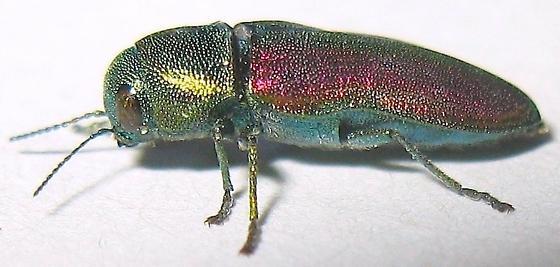 Chrysophana placida