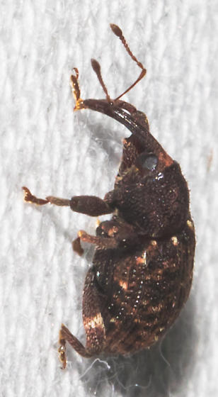 2018-08-10 Thick-legged weevil - Conotrachelus posticatus