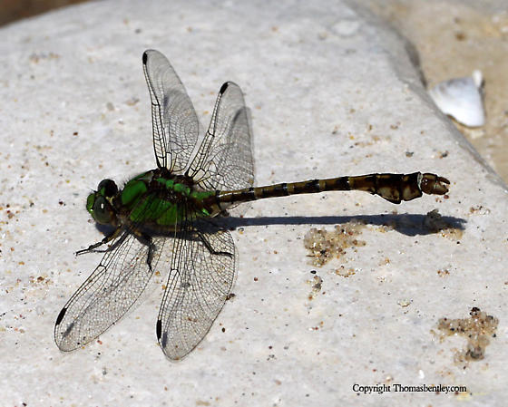 Dragonfly - Ophiogomphus rupinsulensis