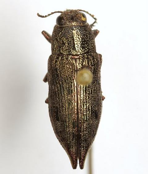 Poecilonota cyanipes (Say) - Poecilonota cyanipes