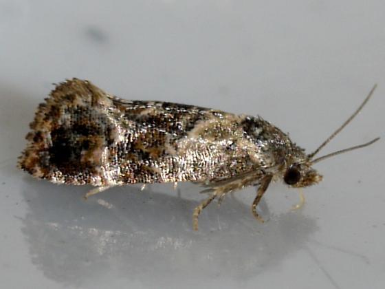 Hoffman's Cochlid - Cochylichroa hoffmanana