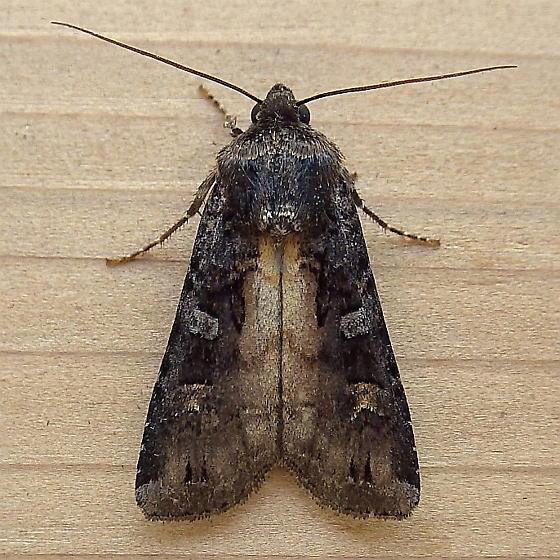 Noctuidae: Actabia fennica - Actebia fennica