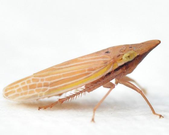Draeculacephala septemguttata - female