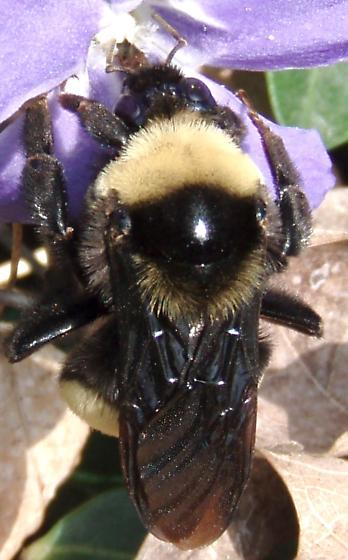 Black and Gold Bumble Bee - Bombus auricomus - female