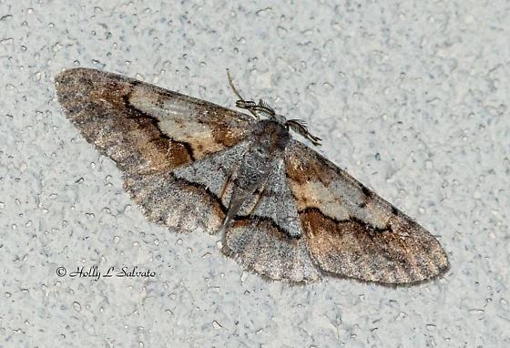 Moth - Stenoporpia - male