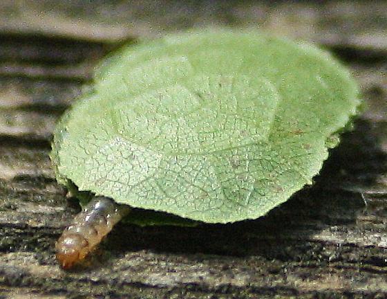 Moving Leaf - Paraclemensia acerifoliella
