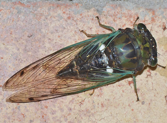 Cicada - Neotibicen tibicen