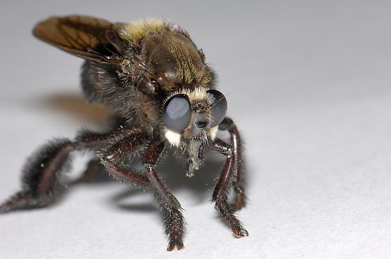 Beelzebub Bee-eater - Mallophora leschenaulti