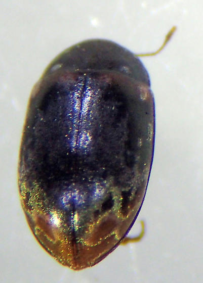 E. marmoratus - Enneboeus marmoratus