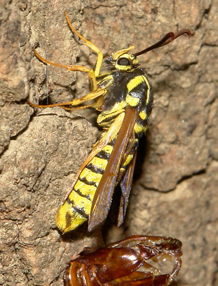A wasp-mimicking moth, newly emerged from a cottonwood - Sesia tibiale