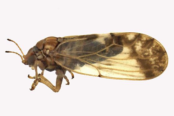 Aphalaridae - Aphalara