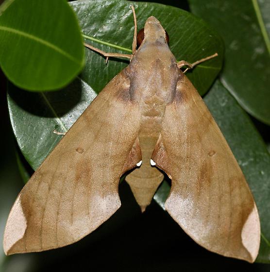 Large moth - Pachylia ficus