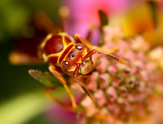Some type of wasp - Polistes arizonensis