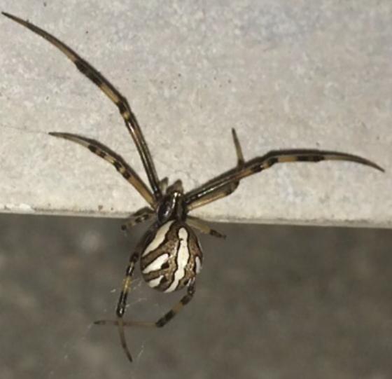Juvenile western black widow - california - Latrodectus ...