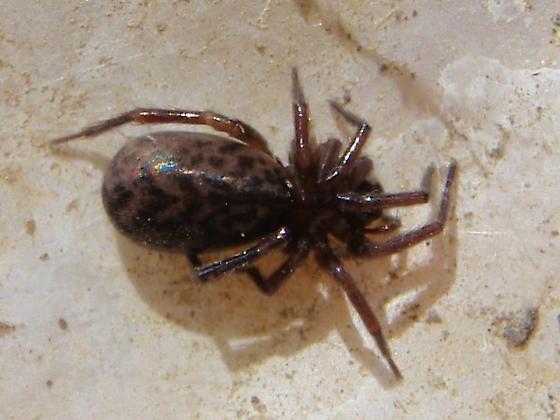 Hackledmesh Spider?