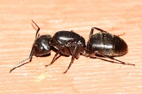 Black Carpenter Ant Queen - Camponotus pennsylvanicus ...