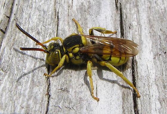 Small Bee - Nomada