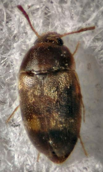 Another fungus beetle? - Litargus balteatus
