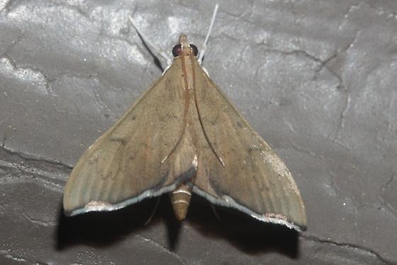 Moth - Sericoplaga externalis