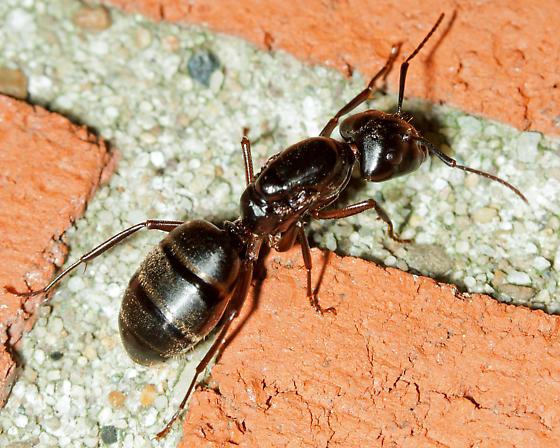 Large Black Ant - Camponotus pennsylvanicus