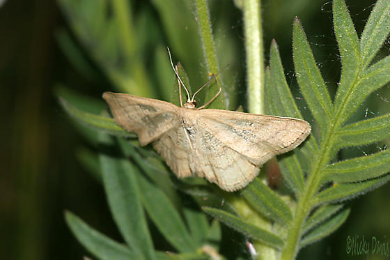 Tan Moth with two wavy lines