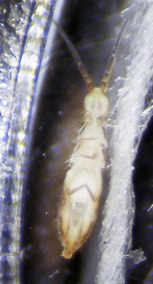 Unknown Springtail - Orchesella alpa
