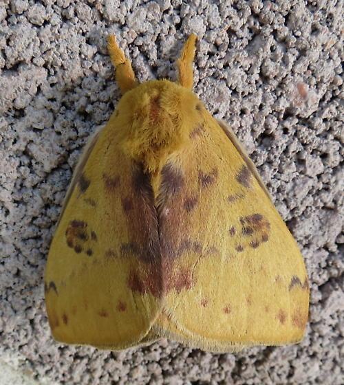 Is this a type of Io Moth?  - Automeris io