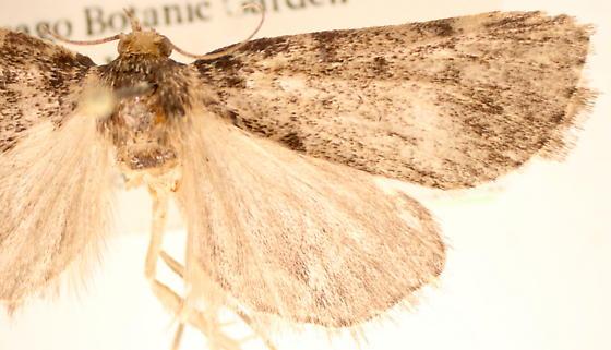 Aglossa pinguinalis - female