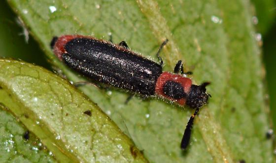 Checkered Beetle - Monophylla terminata - female