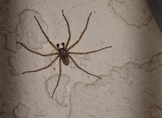 Almost looks like a wolf spider or huntsman  - Selenops